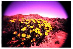 desert-flowers.jpg